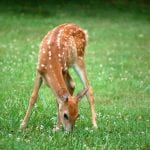 A baby deer (fawn) munching on a clover in a lawn