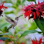 Hummingbird feeding from a red flower