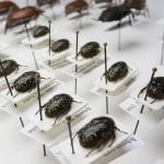 A curated beetle collection with pinned specimens above tags