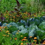 A vegetable garden with a combination of cabbage surrounded by small yellow and orange flowers and dark purple leafy greens