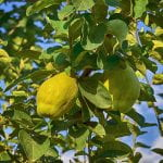 Quince Tree with two large green quince fruit - almost apple like in shape