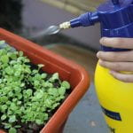 Someone spraying a container of seedlings with alarge yellow spray bottl