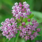 Swamp Milkweed - Lots of small pink flowers