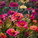 A garden patch of magenta, orange and yellow zinnias