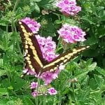 Swallow Tail Butterfly, yellow and black, feed ing off pink flowers
