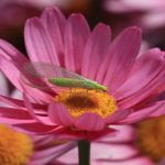 Green lacewing - green bodied bug with large net-like wings sitting on a flower with pink petals and a yellow center