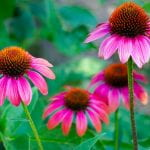 Four Echinacea or Cone Flowers in a garden - large flowers with dark pink petals and spikely centers