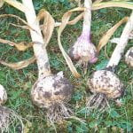 Five freshly harvested heads of garlic