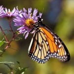 Black and orange Monarch Butterfly feeding on a purple flower