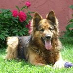 German Shepherd sitting in the lawn infron of a peony plant with large magenta blossoms