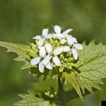 FOur-petaled white flowers on a garlic mustard plant