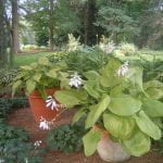 Sahde garden with two large containers of blooming hostas
