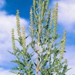 Flower stalks of comon ragweed