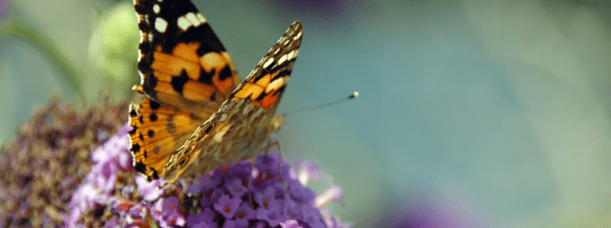 butterfly resting on an allium flower