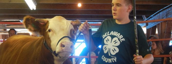 youth presenting his steer to potential buyers at the 4-H livestock auction from inside the ring