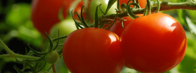 Red tomatoes growing on vine