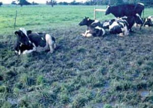 Cows laying down in a pasture that has pugging damage from having wet soils.
