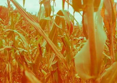 Koremu co-op's cornfield
