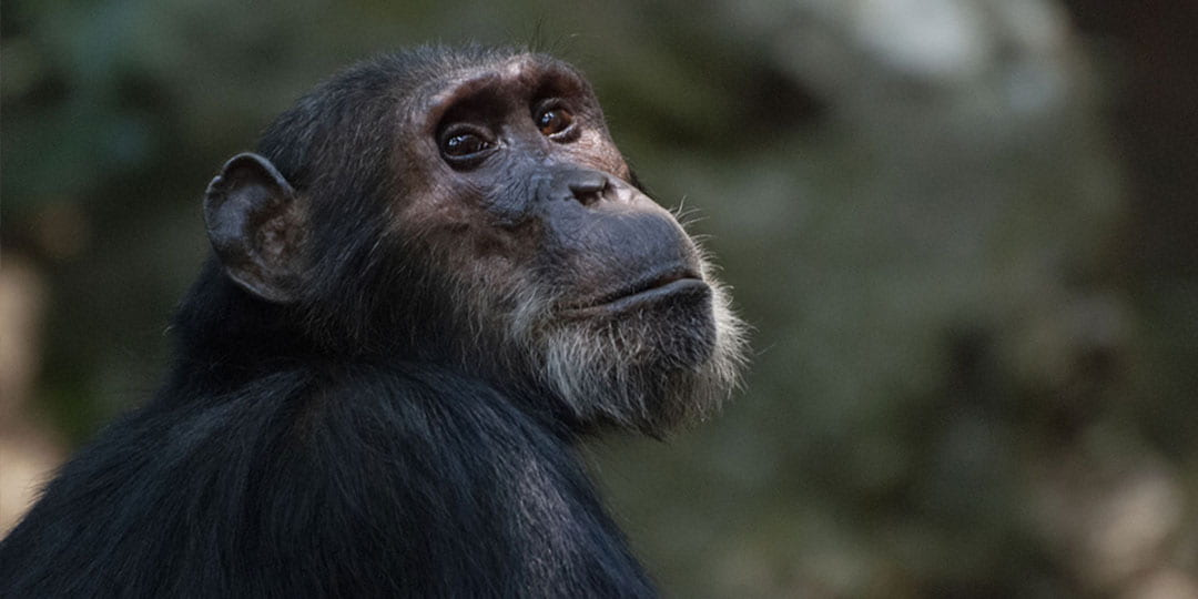 Chimpanzee with grey hairs around its chin looking off into the distance