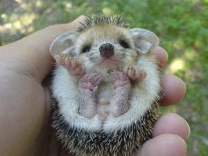 A very cute baby hedgehog.