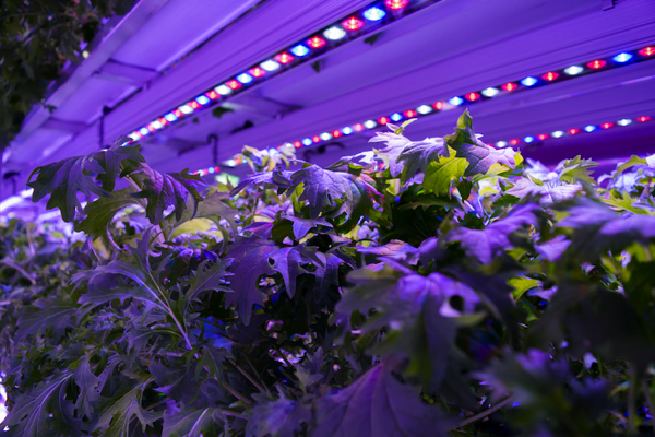 Lettuce and herbs being grown under strings of LED lights. Source: Vertical Harvest Hydroponics