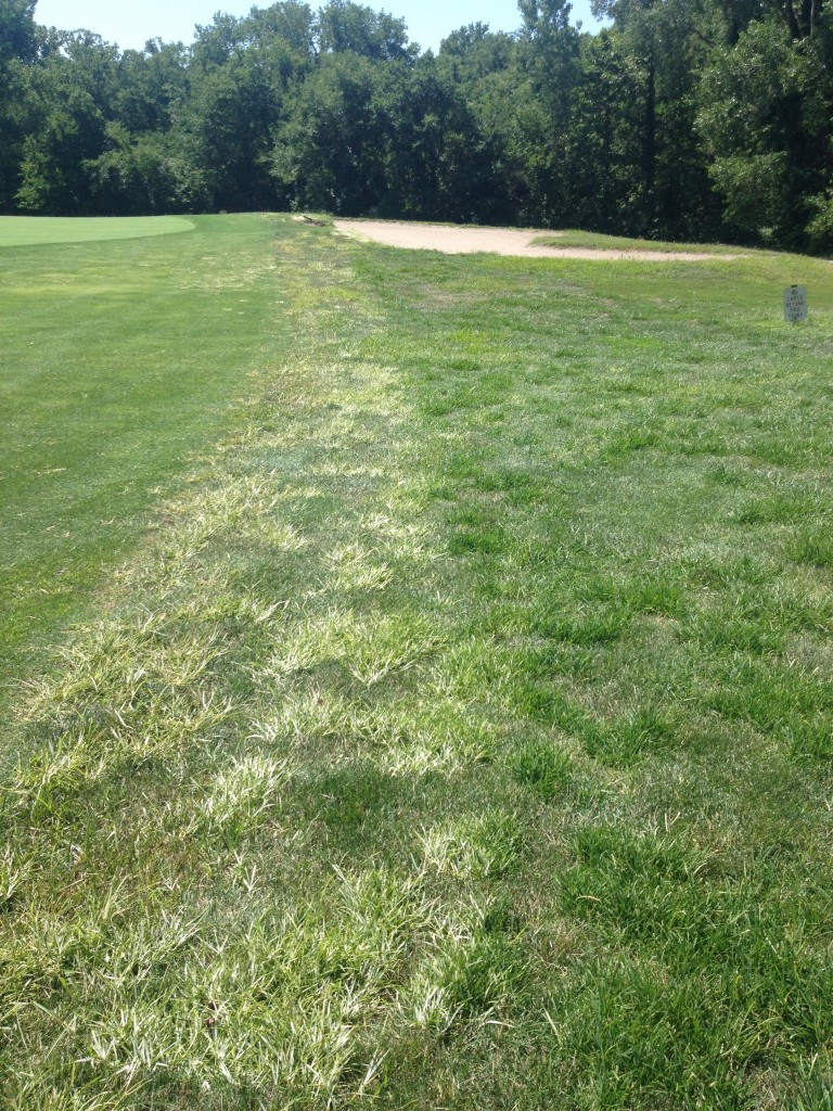 Bleaching of goosegrass from topramazone application