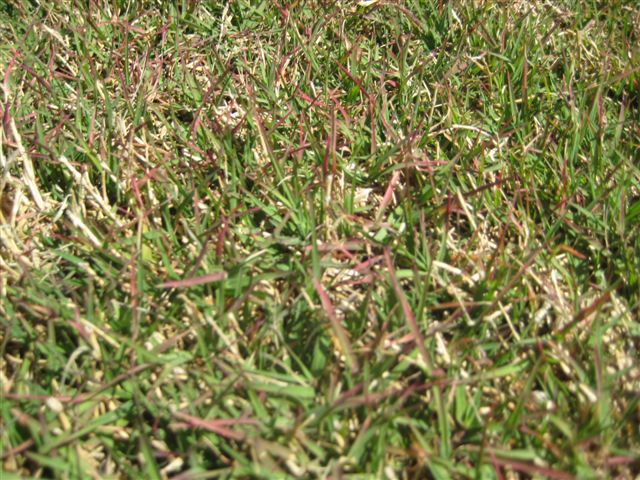 cold damage in bermudagrass  or   u0026quot even the grass bleeds