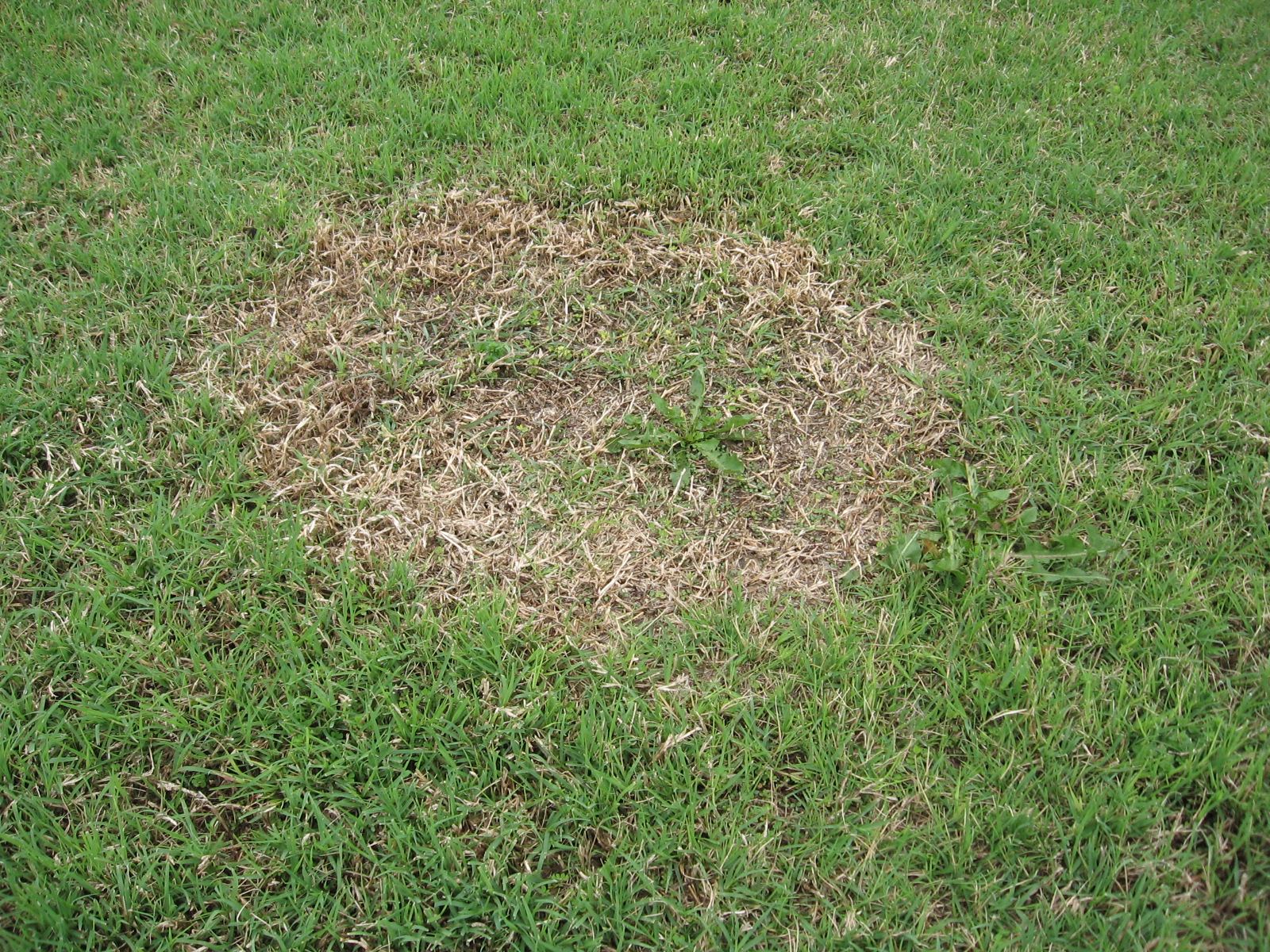 how to fix dead patches of buffalo grass