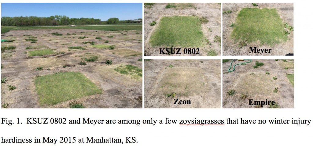 New Fine-Textured, Cold-Hardy Zoysiagrass on the Horizon | K