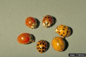 ladybeetle-BillRee-TexasAM-bugwood