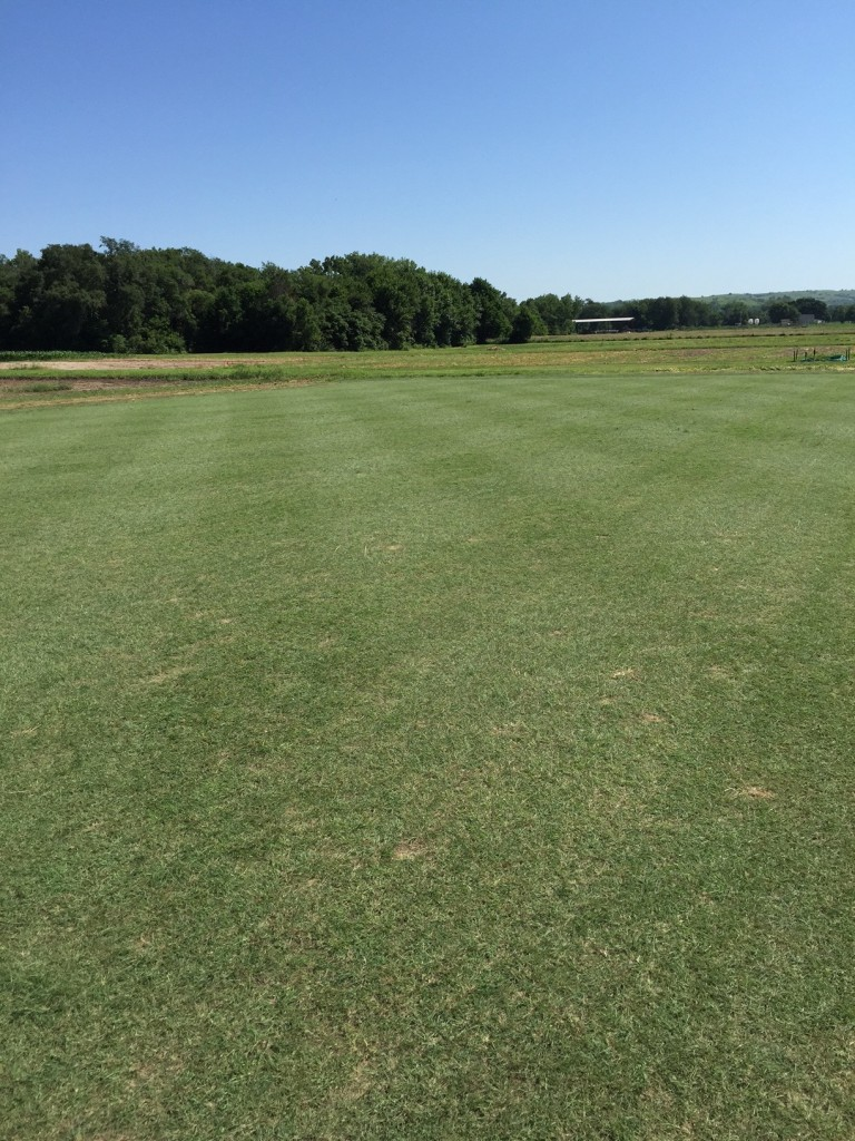 buffalograss fairway