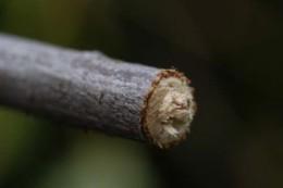 twig-girdlers