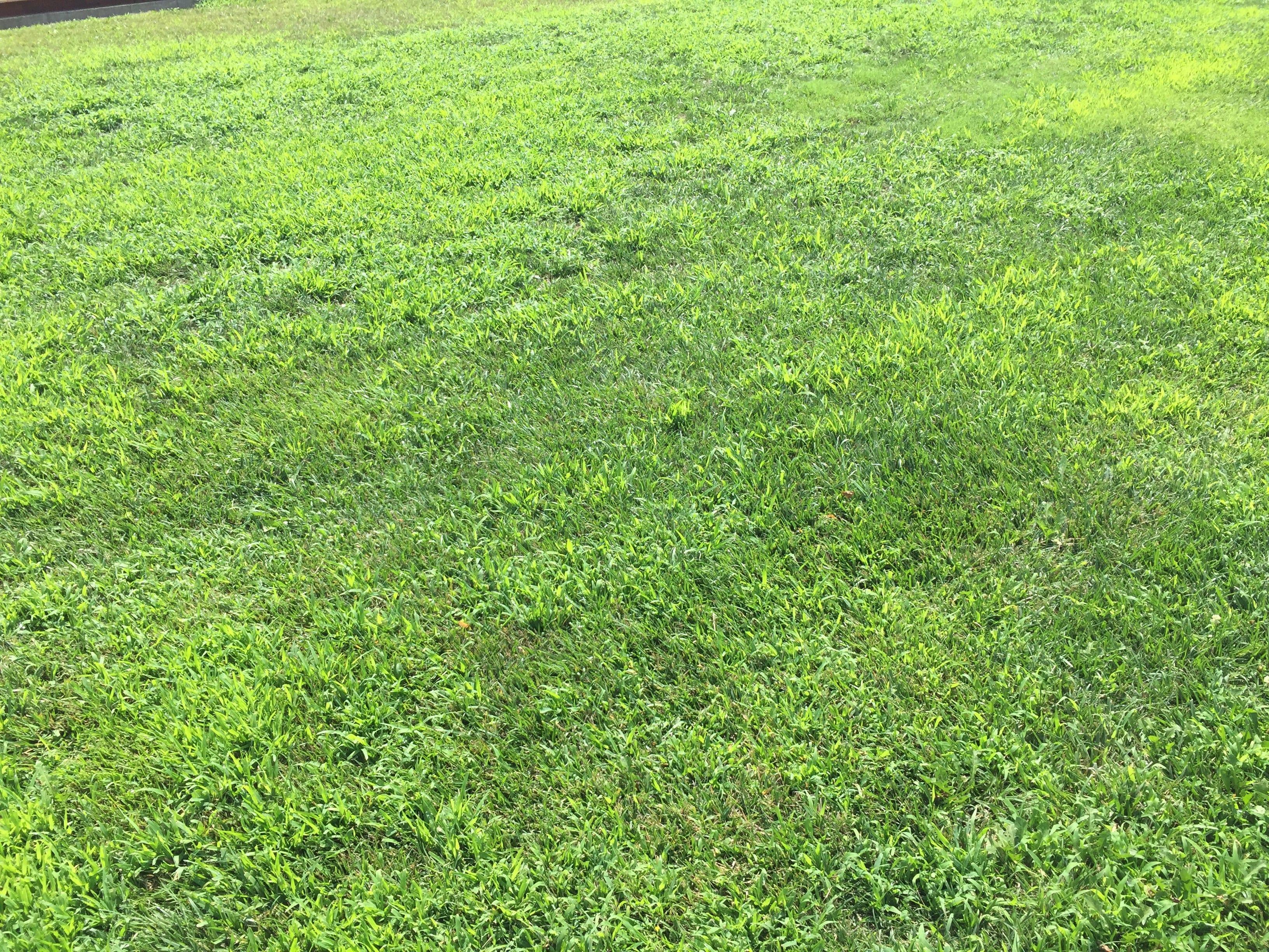 Crabgrass K State Turfgrass
