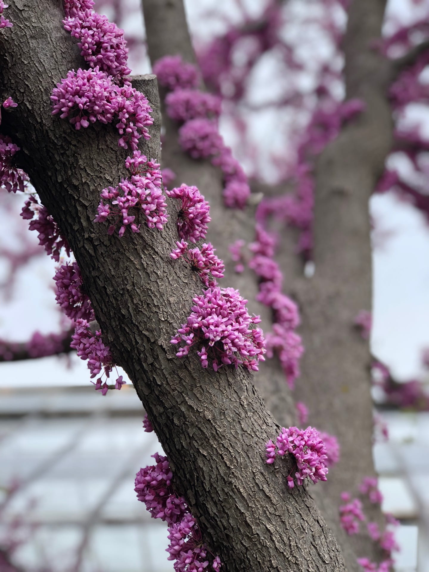 Why Is That Redbud Tree Blooming Along The Trunk K State Turfgrass