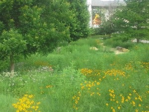 The Meadow in early June, 2014, looking toward the Beach Museum of Art. Image by Katie Kingery-Page