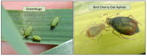 difference between aphid species