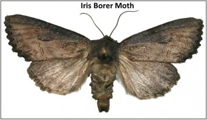 1-Iris Borer Moth - jpg