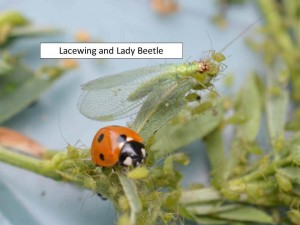 lacewing 2