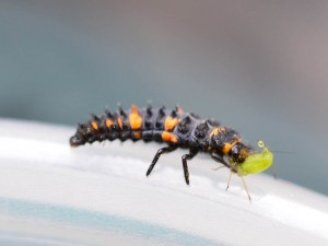 lady beetle larvae w aphid
