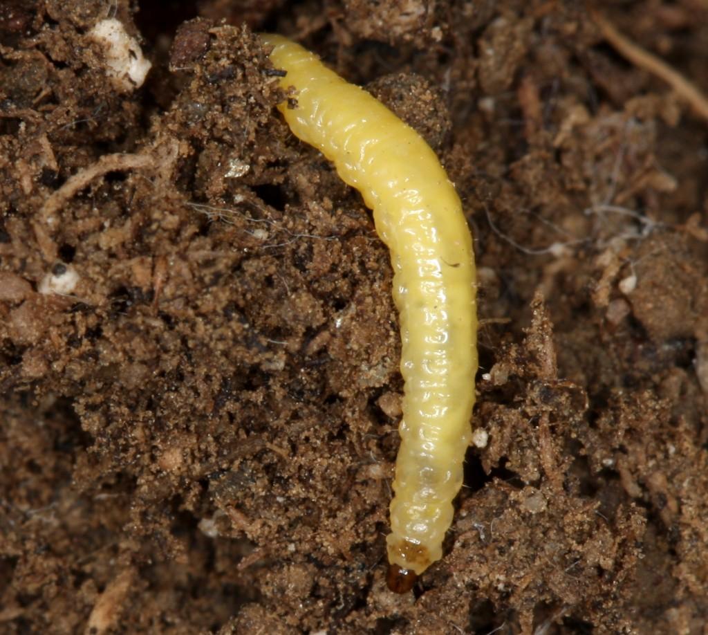 wcr larva