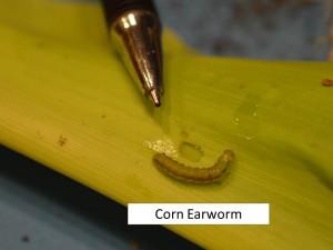 CEW larva