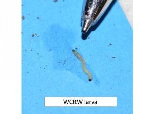CRW larva