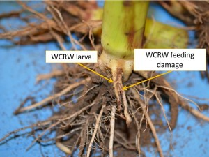 CRW larva and damage