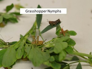 Grasshopper Nymphs