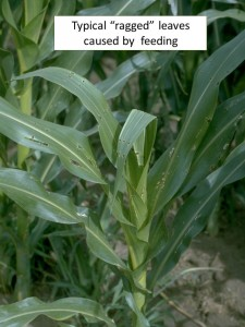 Ragged leaves corn