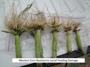 WCR larval feeding damage