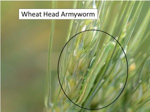 wheat head armyworm
