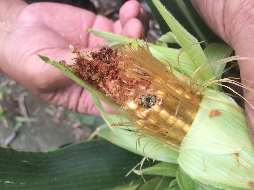corn earworm in ear