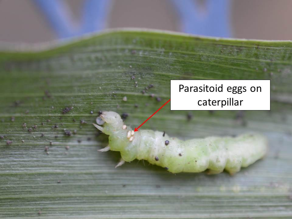 parasitized caterpillar