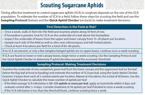 scouting plan sugarcane aphid
